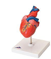 Anatomski modeli i posteri