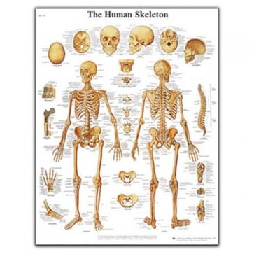 Anatomski poster - ljudski kostur
