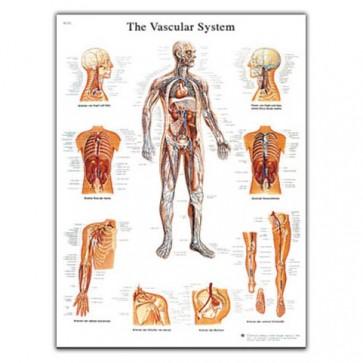 Anatomski poster - krvožilni sustav