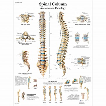 Anatomski poster - kralježnica
