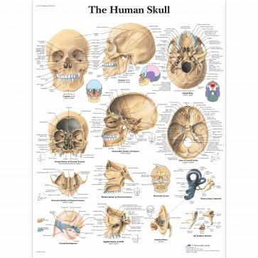 Anatomski poster - Lubanja
