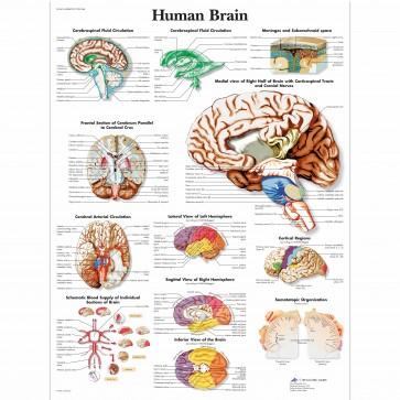 Anatomski poster - mozak