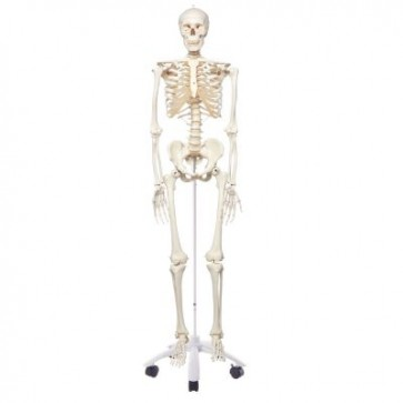 Standardni model ljudskog kostura A10