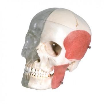 BONElike ™ model ljudske lubanje, 8 dijelova