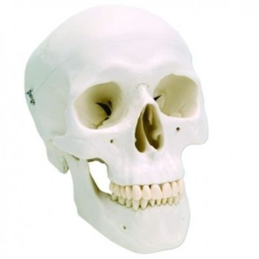 Klasični model ljudske lubanje   trodijelni