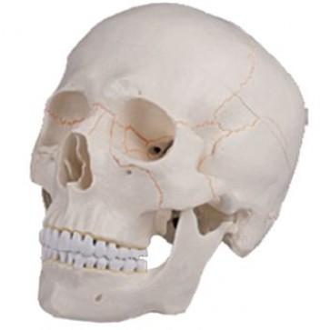 Klasični model ljudske lubanje   jednodijelni i trodijelni