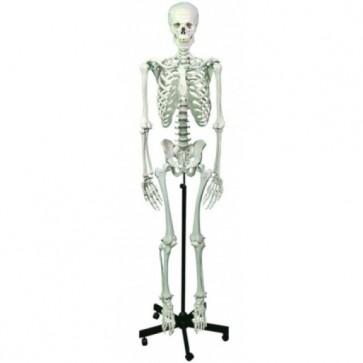 Standardni model ljudskog kostura