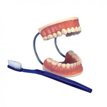 Model stomatološke njege, 3 puta uvećan (veliko zubalo)