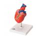 Anatomski model srca, dvodjelni