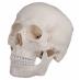 Klasični model ljudske lubanje u jednom komadu A-20