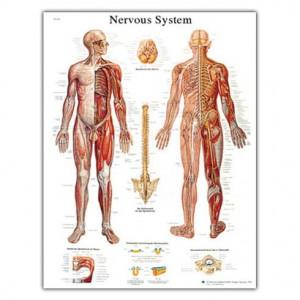 Anatomski poster - živčani sustav