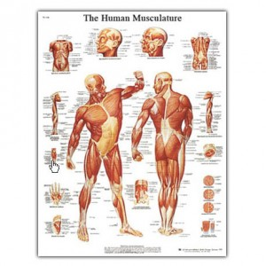 Anatomski poster - mišićni sustav